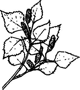 Ветка березы раскраска